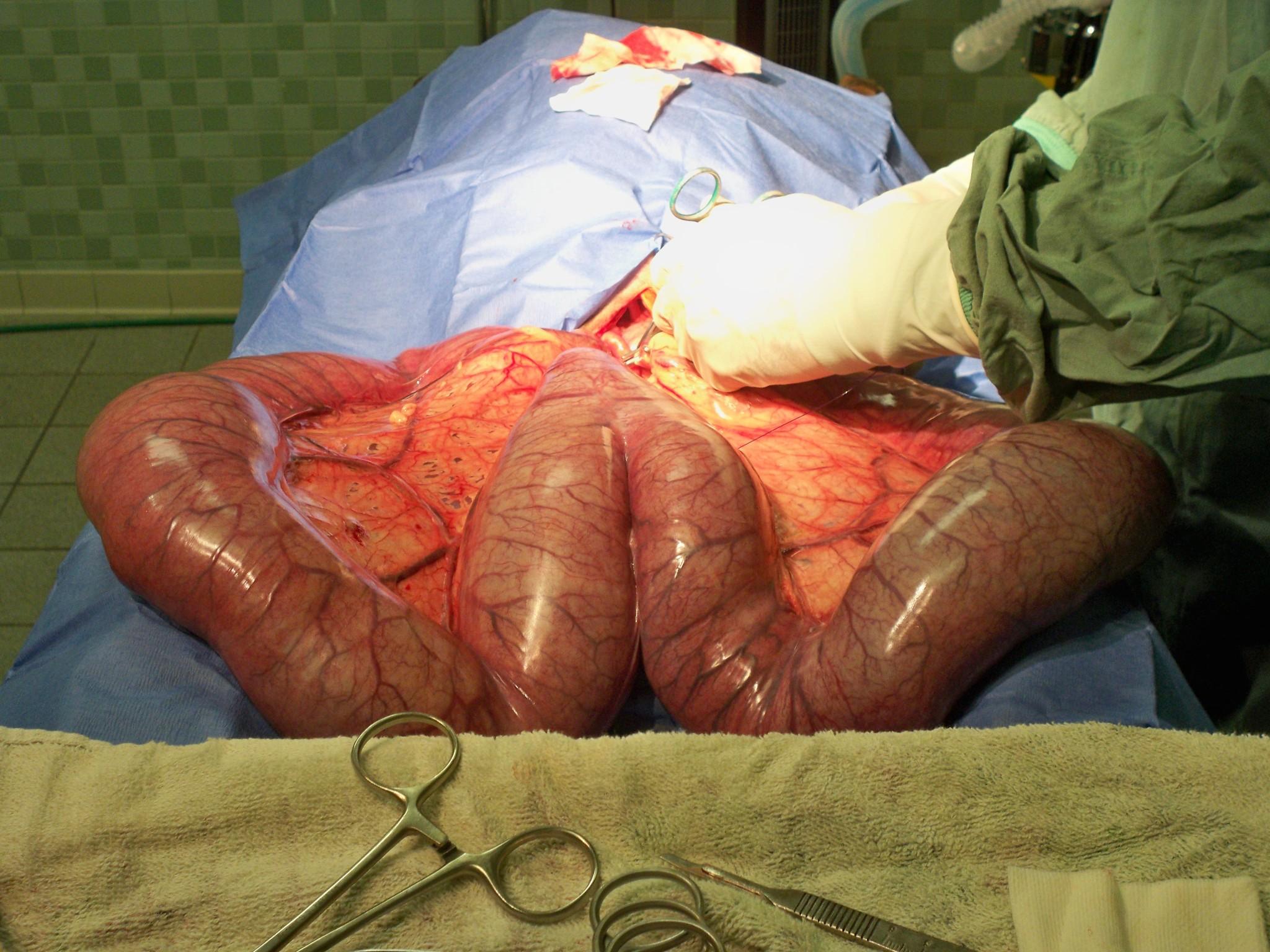 İneklerde endometrit: semptomlar ve tedavi